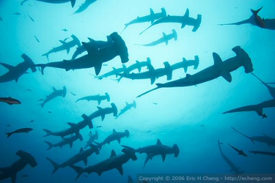 Hammerheads by Eric Cheng