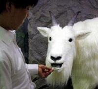 Robot Goat, eating the losses of gamblers