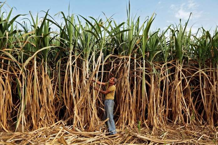 File photo: A farmer works in his sugarcane field on the outskirts of Ahmedabad.
