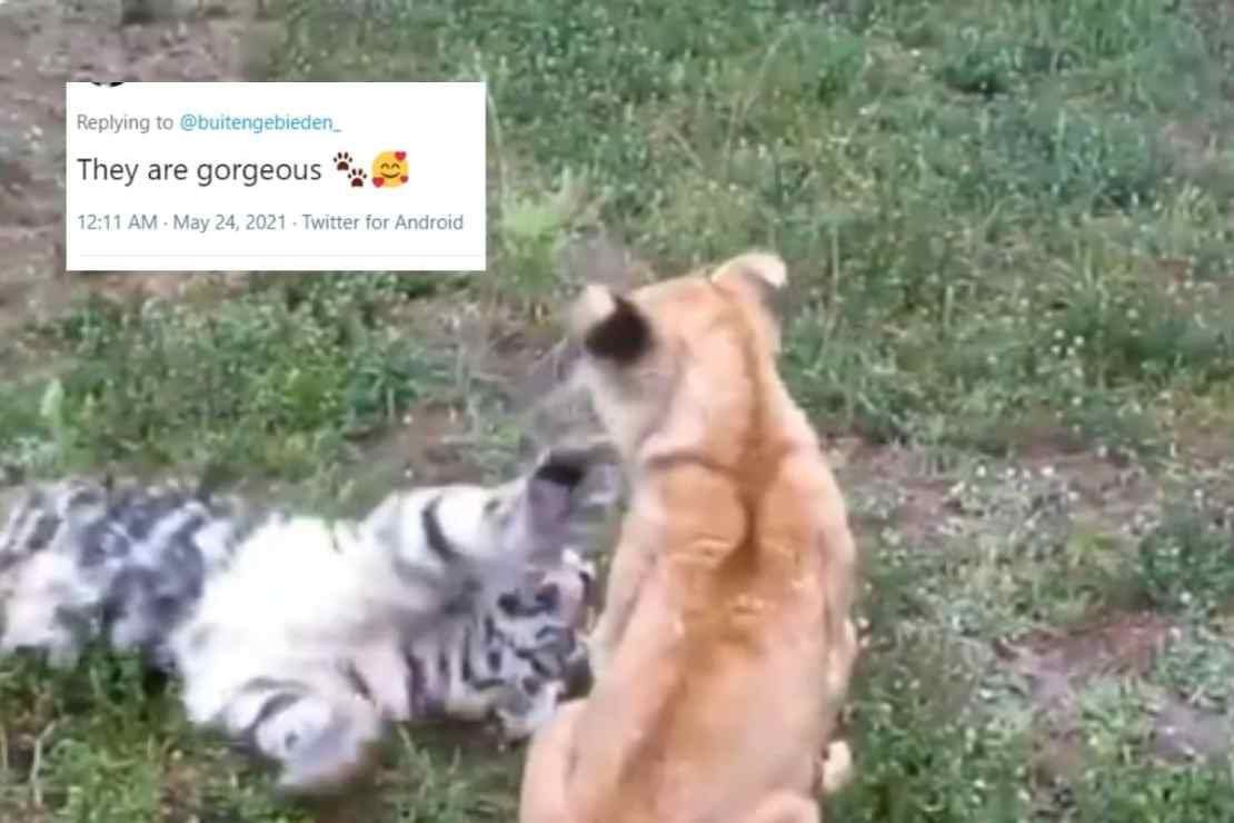 Video grab of tiger and lion cubs in a fight. (Credit: twitter)