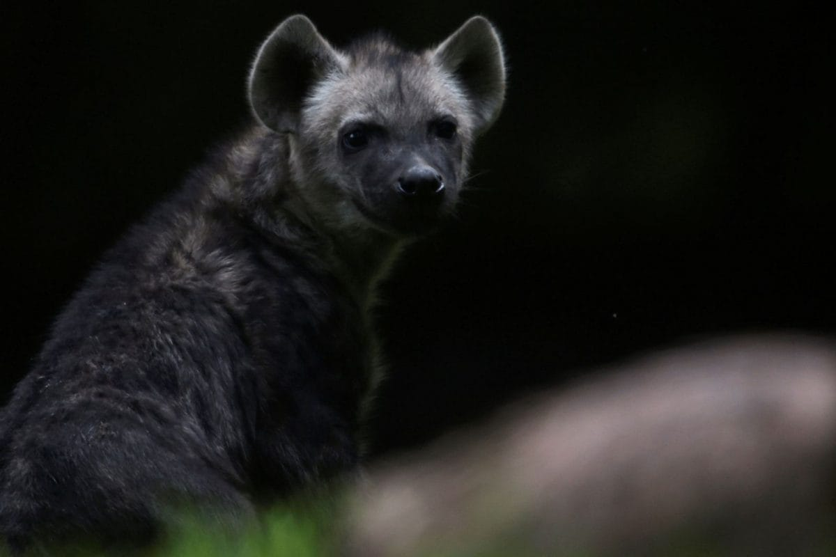 Several forested patches in Khed tehsil are home to a sizable number of hyenas, officials said. (Image: Reuters)