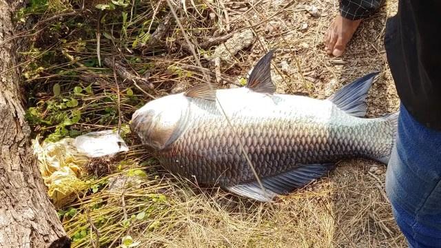 स्थानीय मछुआरों के अनुसार पबना के काजीरहाट के एक मछुआरे गुरुदेव हलदर समेत कई मछुआरे शुक्रवार की रात पद्मा नदी में मछली (बांग्ला न्यूज विशाल कतला मछली) पकड़ने निकले थे.  शनिवार की सुबह उन्होंने बड़े कतला को अपने जाल में फंसा लिया।  मछली की नीलामी दौलतिया फेरी टर्मिनल से सटे बाजार में की जाती है।