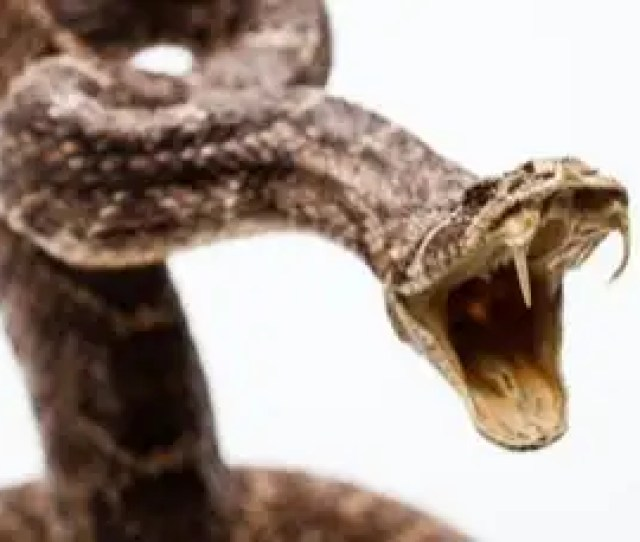 Snake Fangs Evolved From Groovy Teeth New Scientist