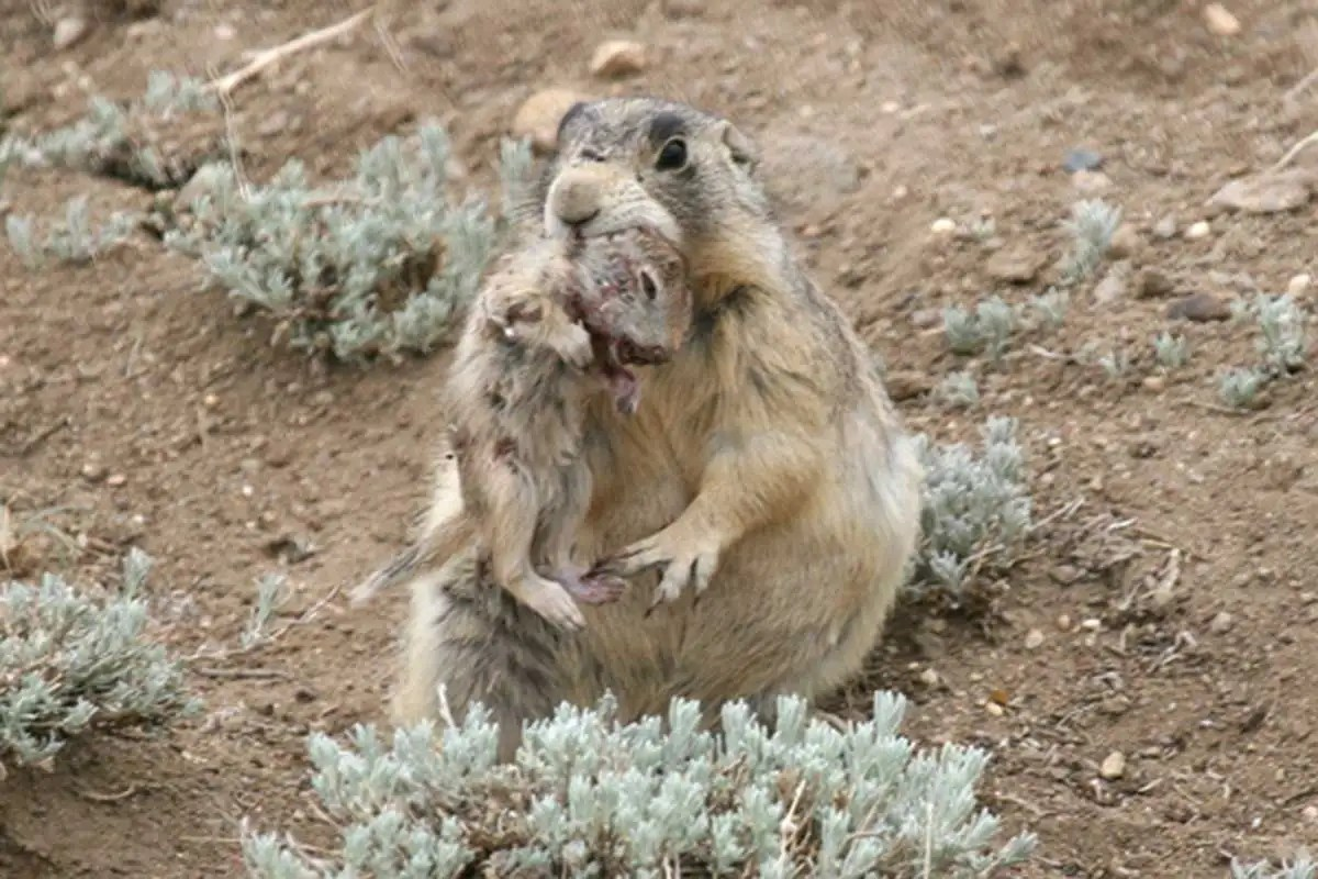 Cute Prairie Dogs Are Serial Killers Savaging Ground
