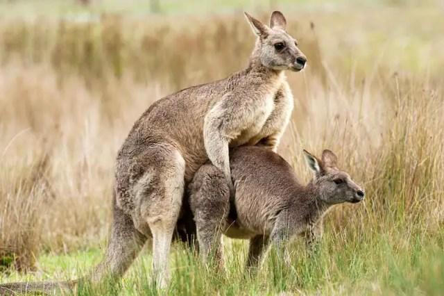The Kangaroo Marsupial
