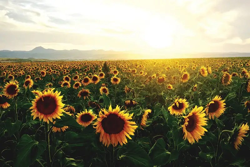 Free Fall Physics Wallpapers Sunflowers Work Together To Avoid Overcrowding And Soak Up