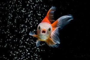 A fish in a dark background