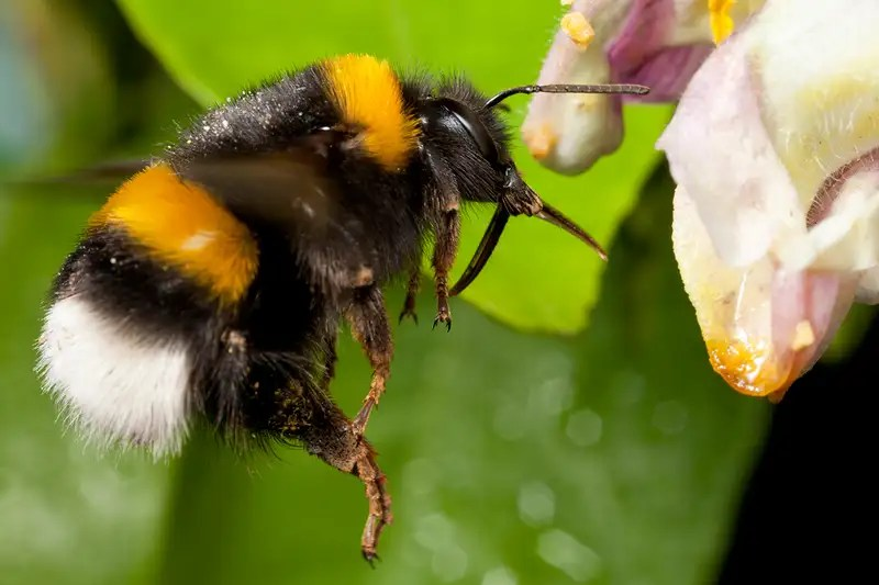 bees very hairy tongues