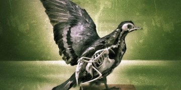 Pigeons with broken wings get patched up with dog and sheep bones