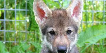 Weve seen wolf pups play fetch just like dogs for the first time