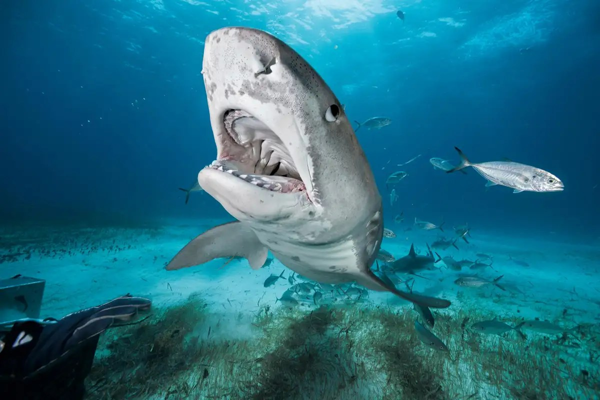 Sharks are easier to catch in cooler waters, and we have no idea why