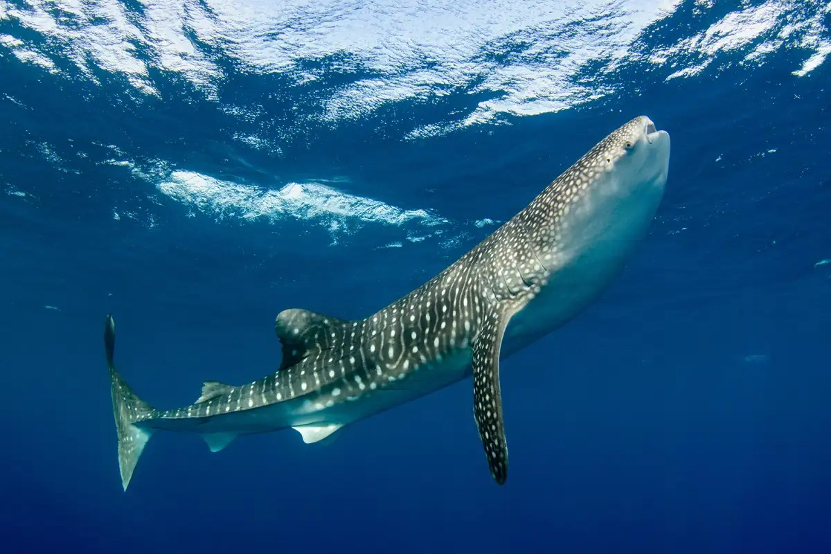 Whale sharks can live for at least 50 years  and probably longer