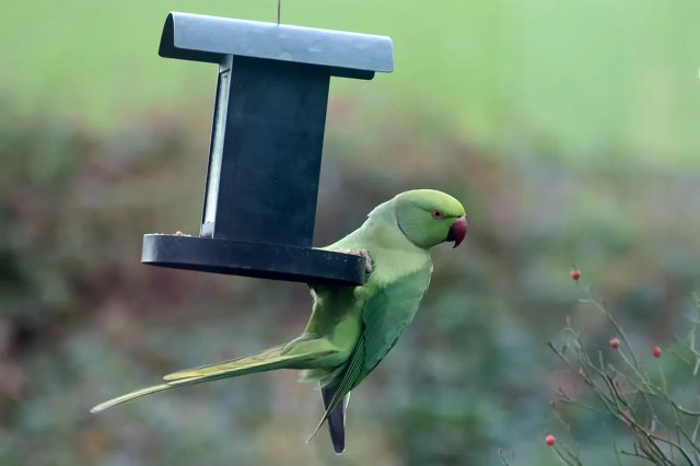 Little green invaders: how parakeets conquered the world