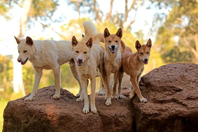 Dingoes are both pest and icon. Now there's a new reason to love them