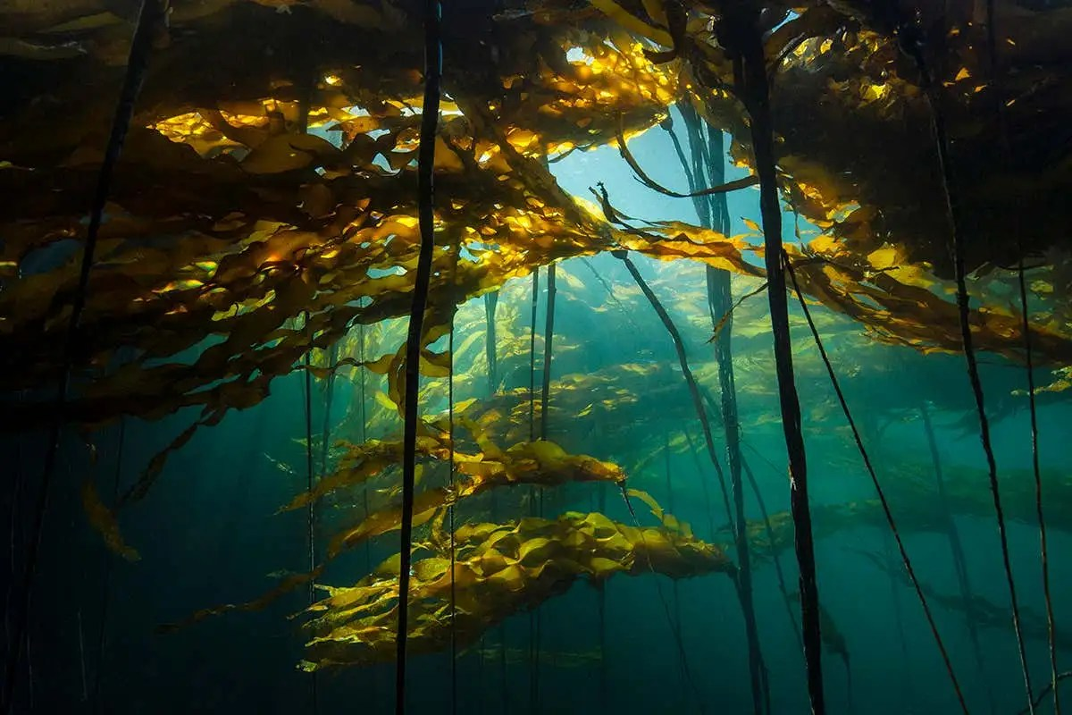 Kelp is coming: How seaweed could prevent catastrophic climate change