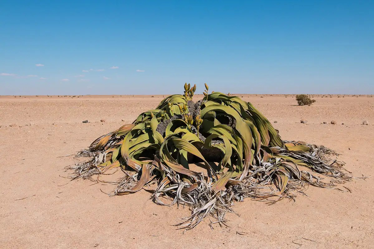 Population of worlds strangest plant threatened by climate change
