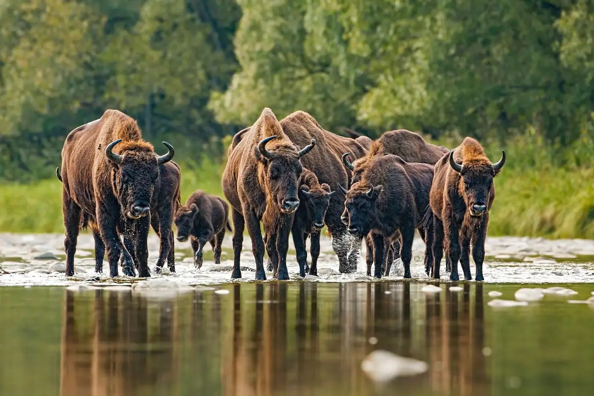 European bison to be introduced in the UK for first time outside zoos