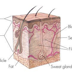 Skin Cross Section Diagram Citroen Berlingo Wiring Manual Image And Video Gallery National Institute Of General