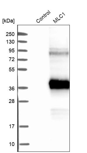 Myosin Heavy Chain Antibody (MF20) [Unconjugated] (MAB4470
