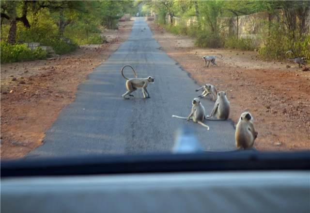 Image result for ranthambore park monkeys