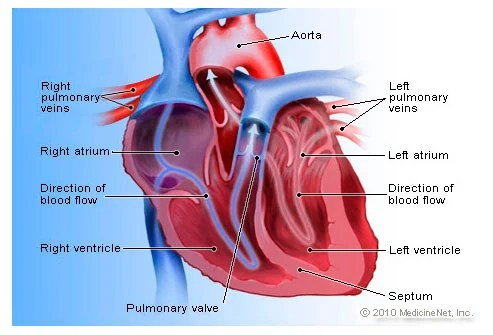 Your heart is an amazing powerhouse that pumps and circulates 5 or 6 gallons of blood each minute through your entire body.