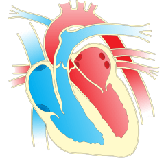 Realistic Heart Diagram Solid Matter Onlinelabels Clip Art 2