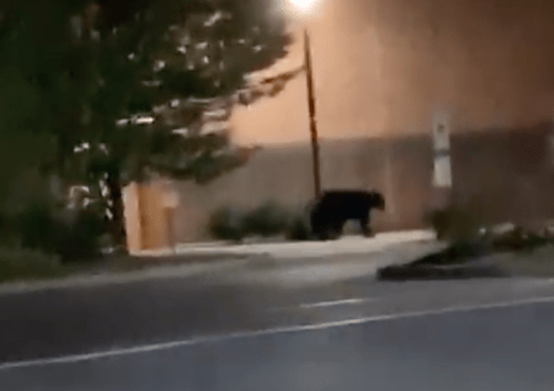 Black Bear Spotted On Penn State's Campus