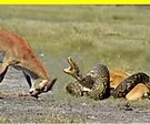 Deer Fight Python To Rescue Baby Escape From Python Attack. Download TopBuzz to explore what's trending everyday!
