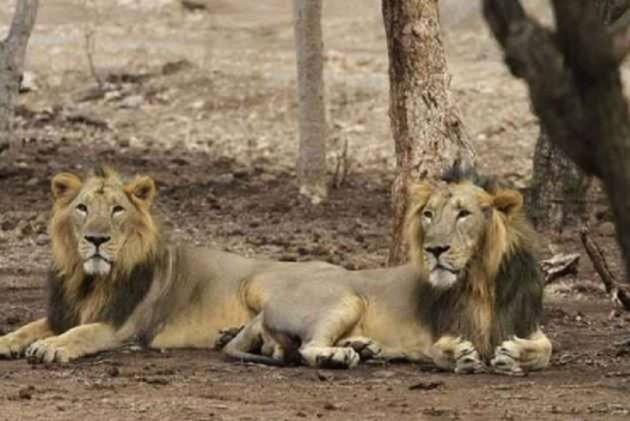 Image result for Punjab Wildlife lion attack man