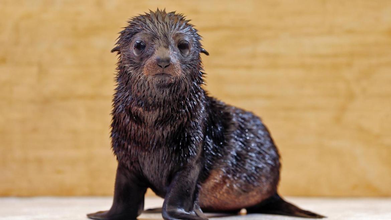 The long-nosed fur seal pup at Taronga Zoo needs a new name.