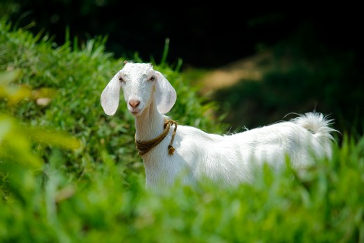 Cute Wallpapers For Iphone X White Goat Eating Grass During Daytime 183 Free Stock Photo