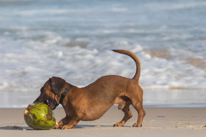 Short-coated Brown Dog Beside Coconut Shell