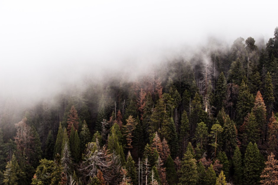 Landscape Wallpapers Hd Free Download Green Pine Trees With Fog 183 Free Stock Photo