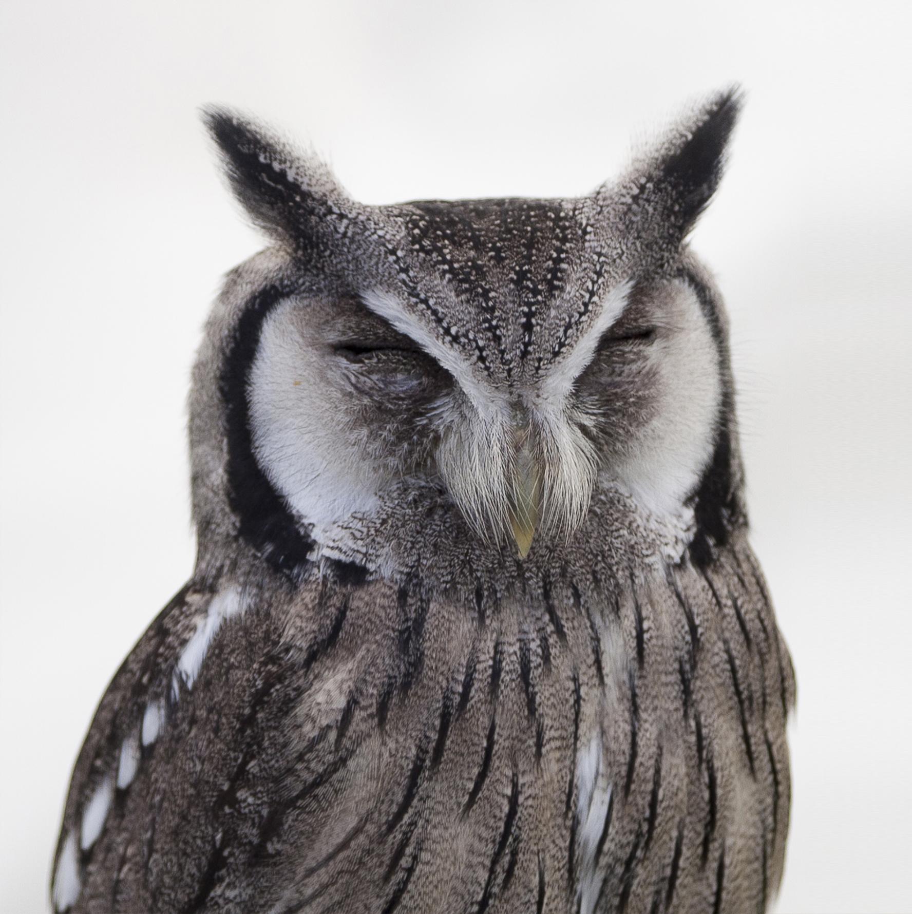 Eagle Wallpaper Iphone X White And Black Owl 183 Free Stock Photo
