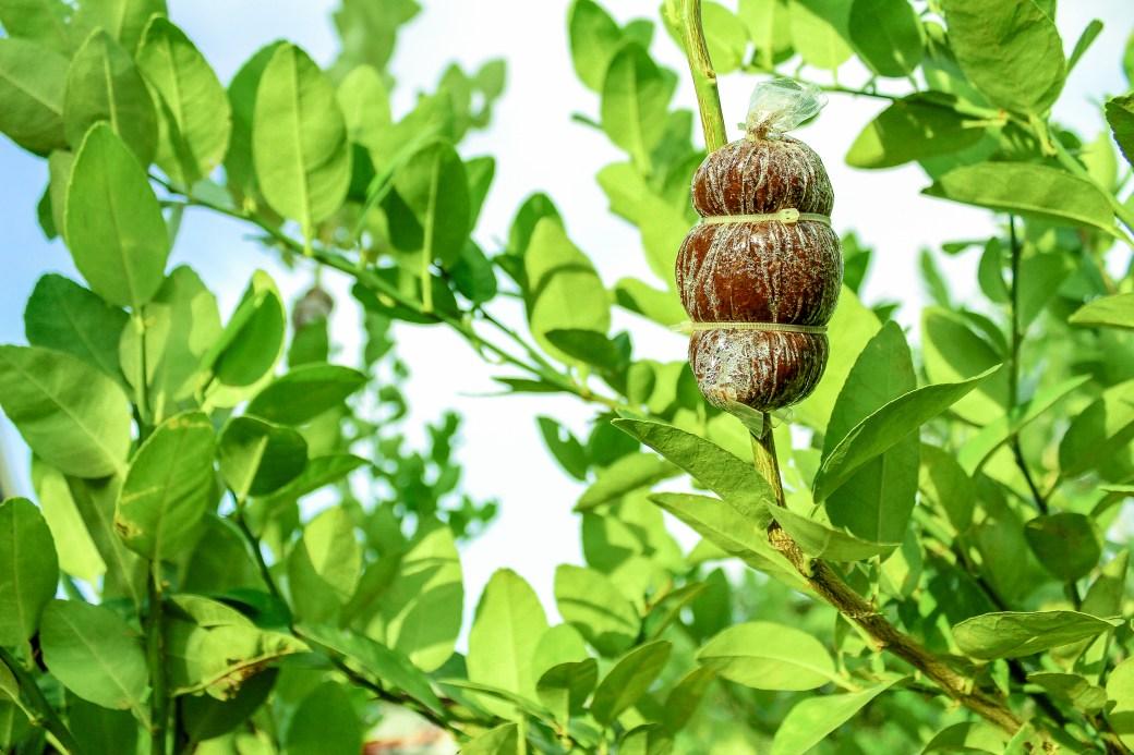 Brown Fruit on Tree