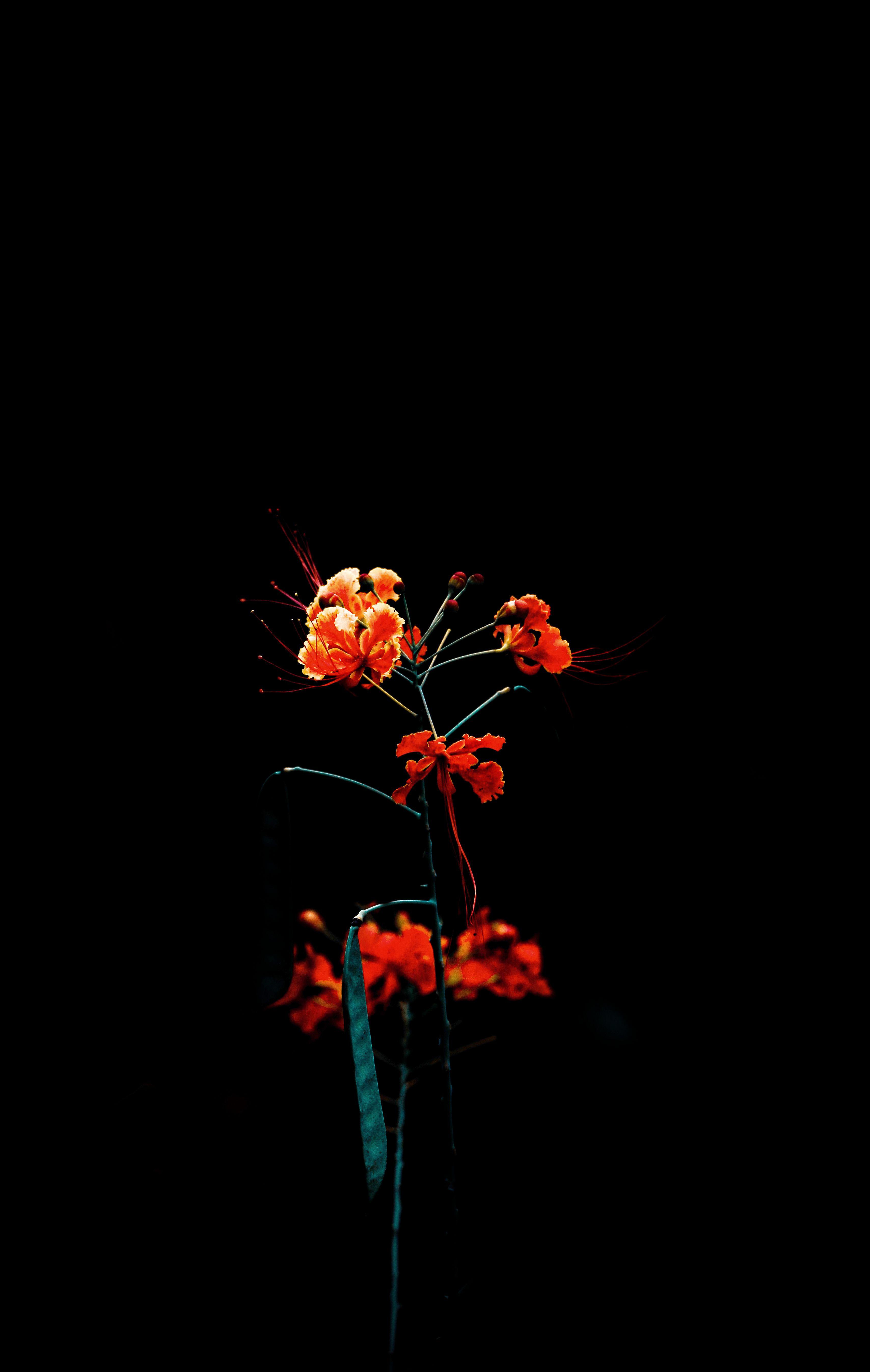 Background Bunga Hitam : background, bunga, hitam, Stock, Photo, Beautiful,, Beautiful, Flowers,, Black