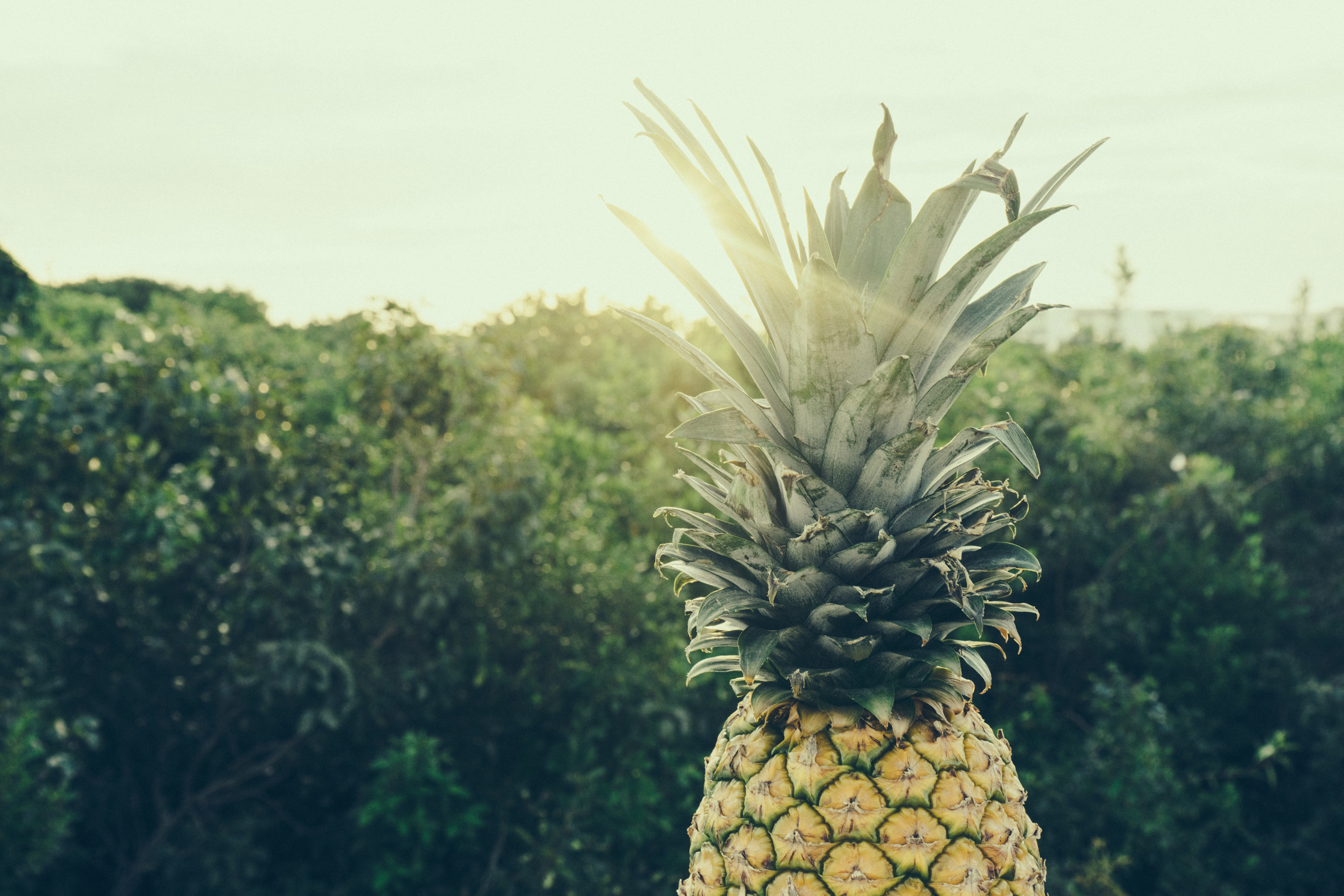 Best Iphone 4 Hd Wallpapers Free Stock Photo Of Backpack Fruit Pineapple