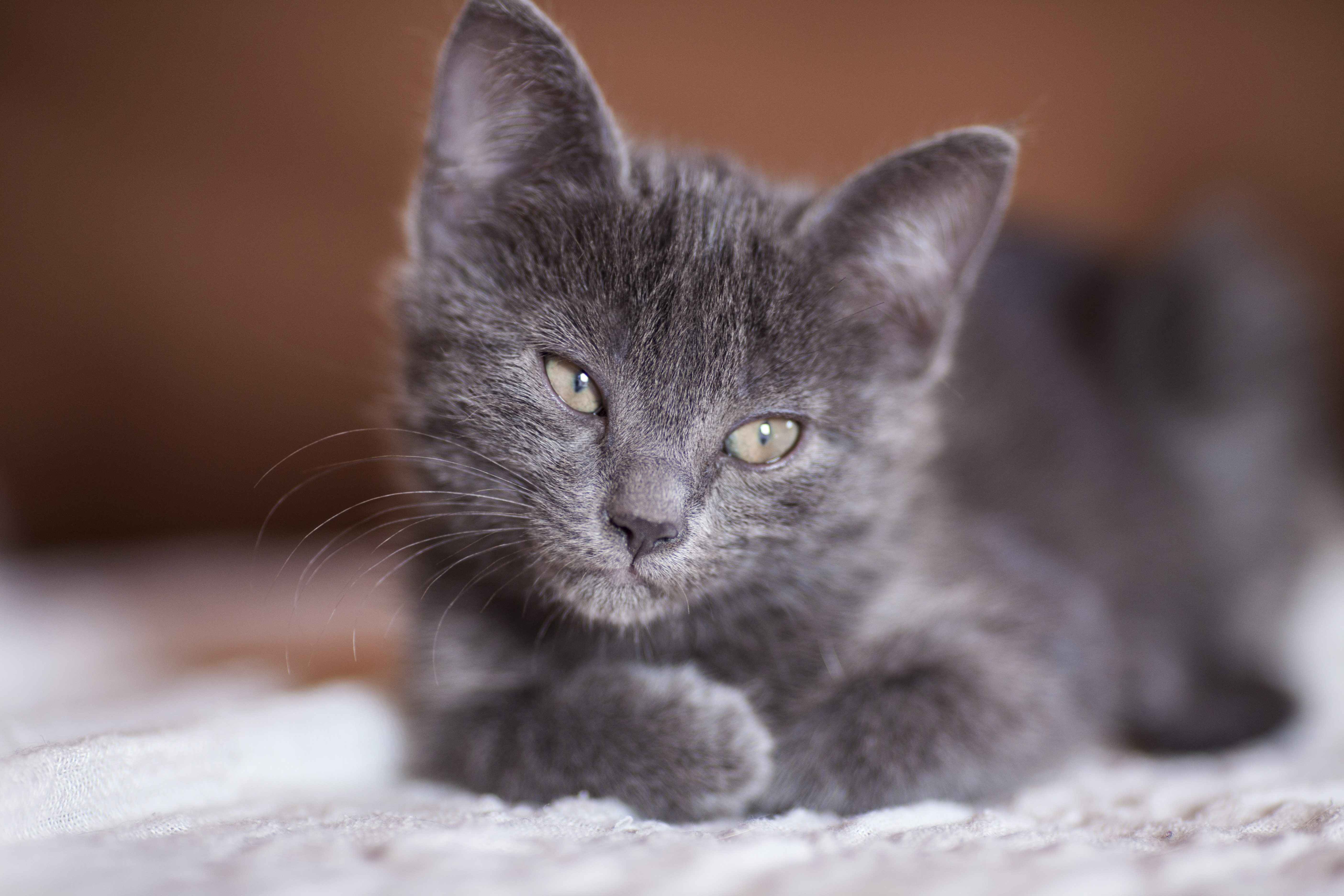 Cute Pet Animals Wallpapers Russian Blue Cat 183 Free Stock Photo