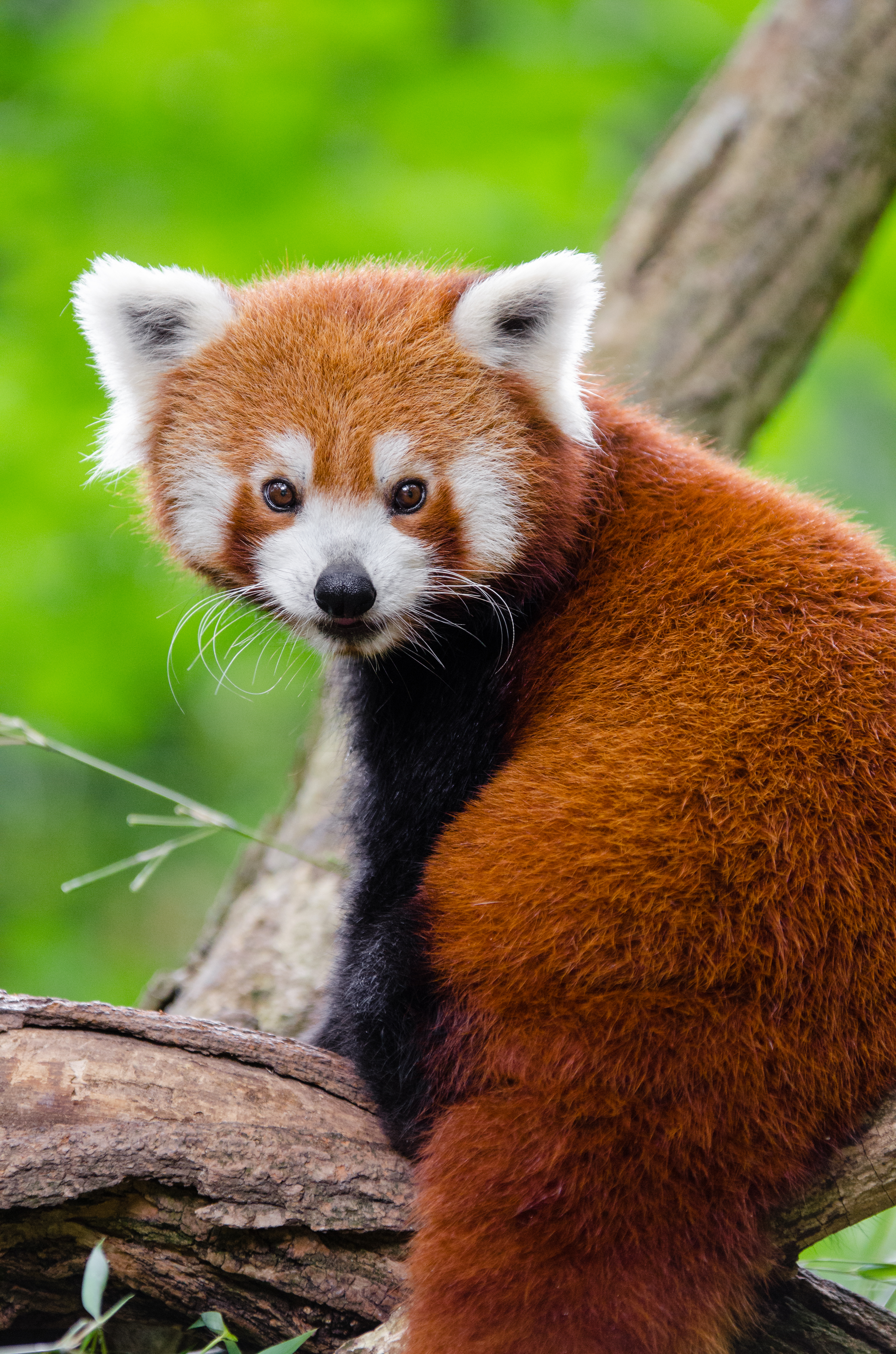 Small Cute Baby Wallpaper Download Red Panda 183 Free Stock Photo