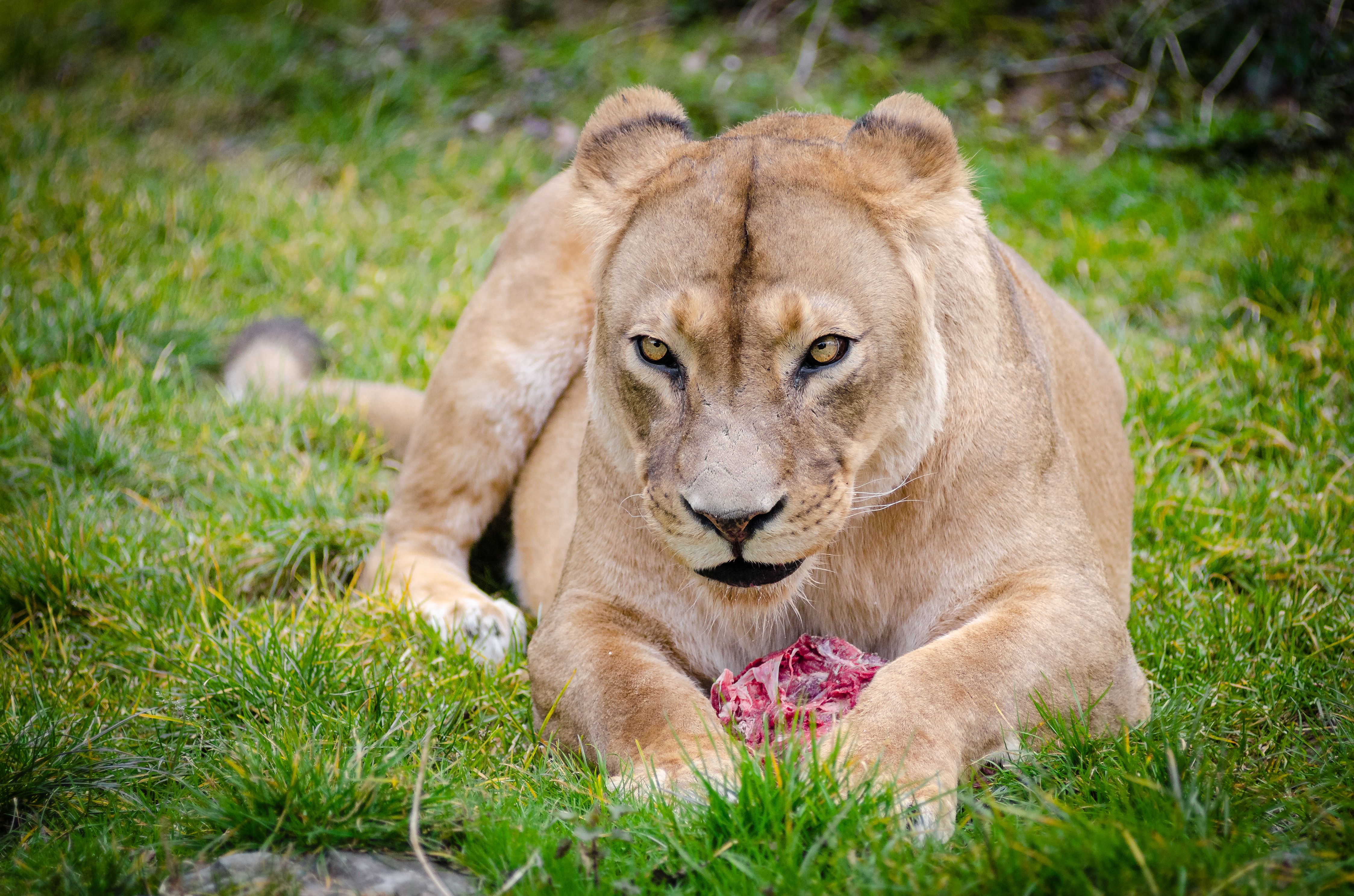 Beautiful Animal Wallpapers Brown Lioness 183 Free Stock Photo