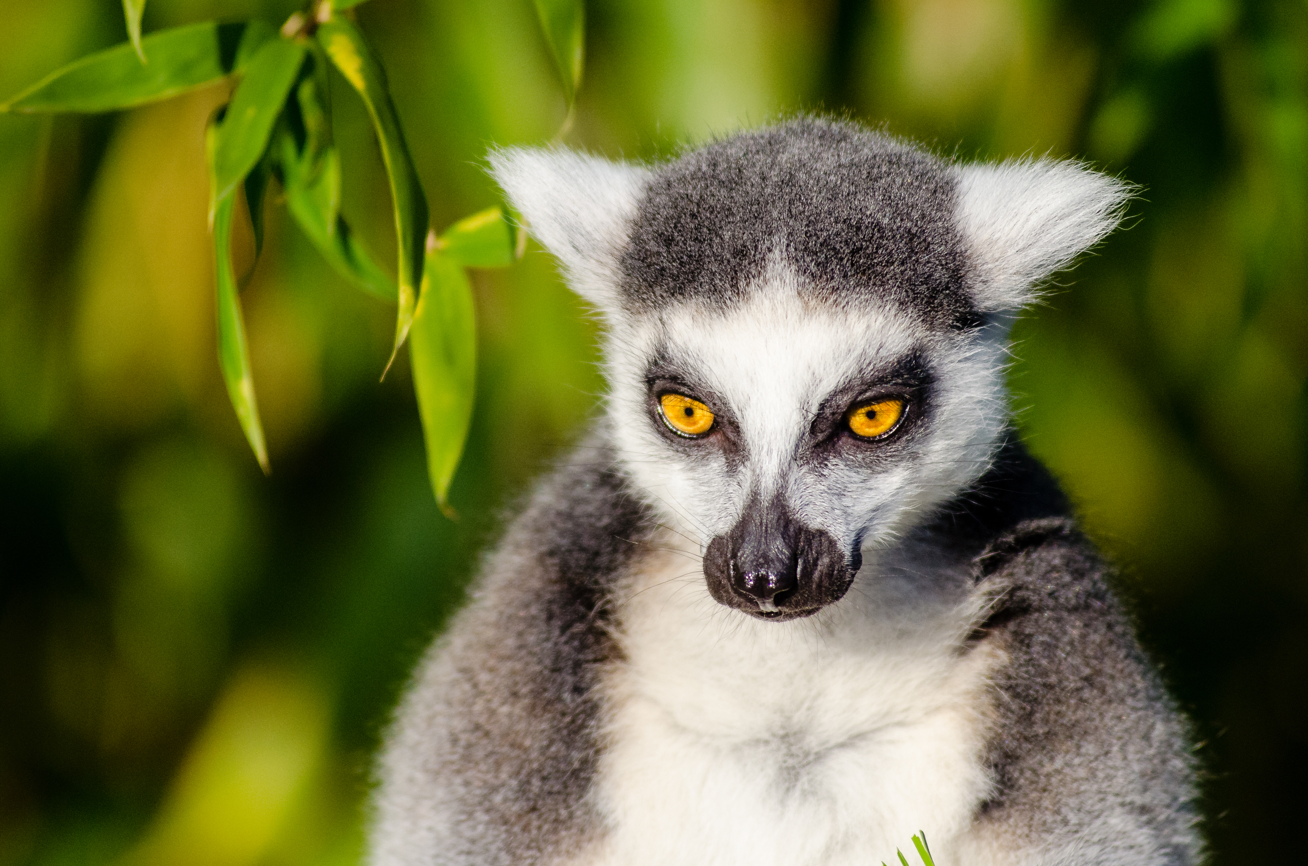 Cute Animal Wallpapers Free Download Two Lemurs 183 Free Stock Photo