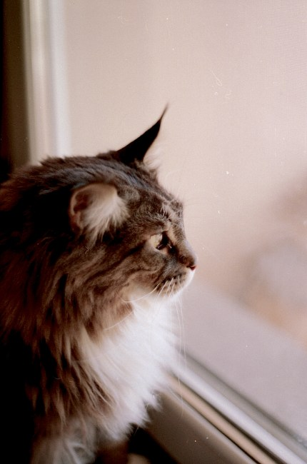Beautiful Animal Wallpapers Brown And Gray Haired Cat Looking Out The Glass Window