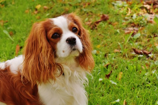 Tan And White Cavalier King Charles Spaniel · Free Stock Photo