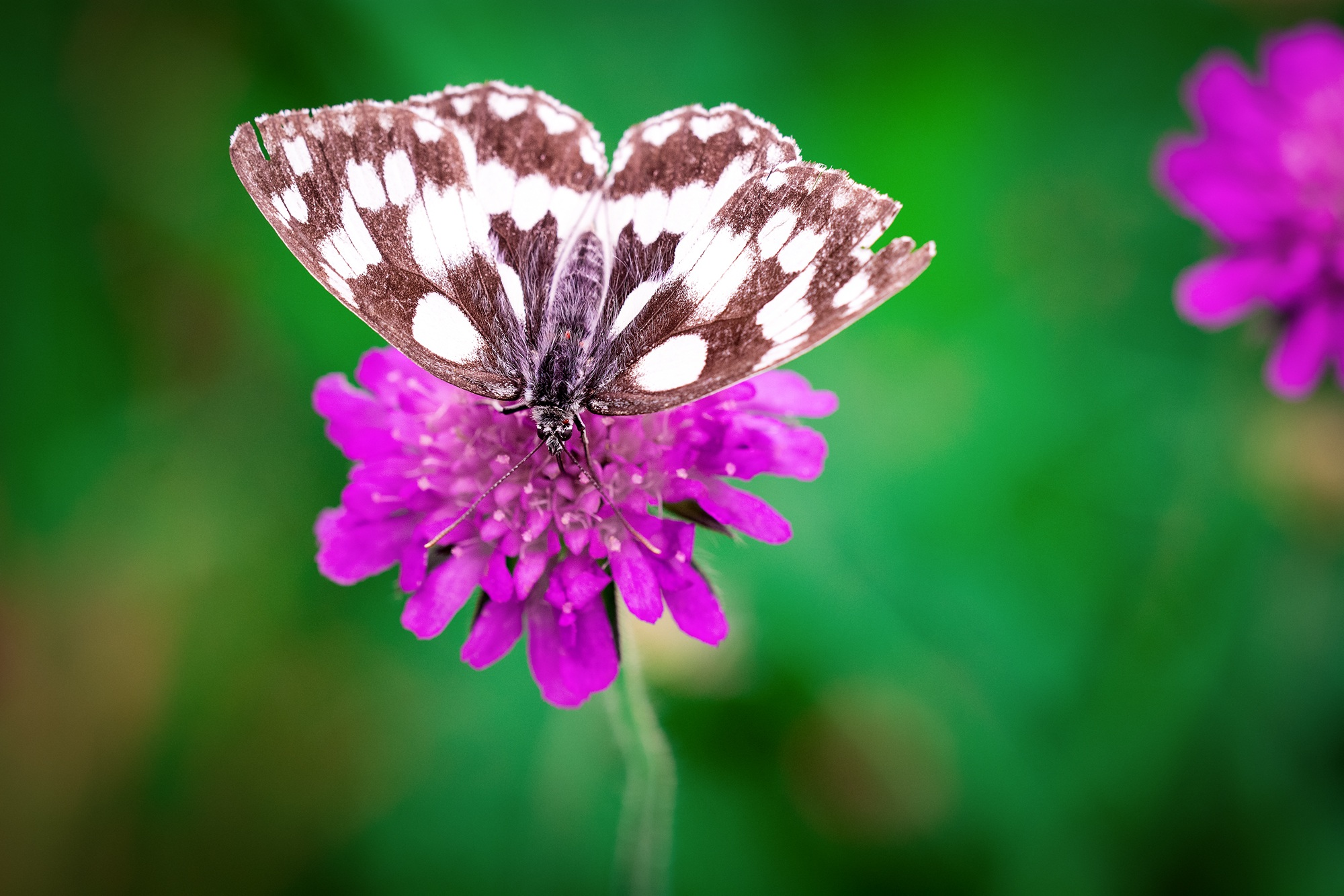 Pink Iphone X Wallpaper White Brown Butterfly Perched On Pink Flower 183 Free Stock