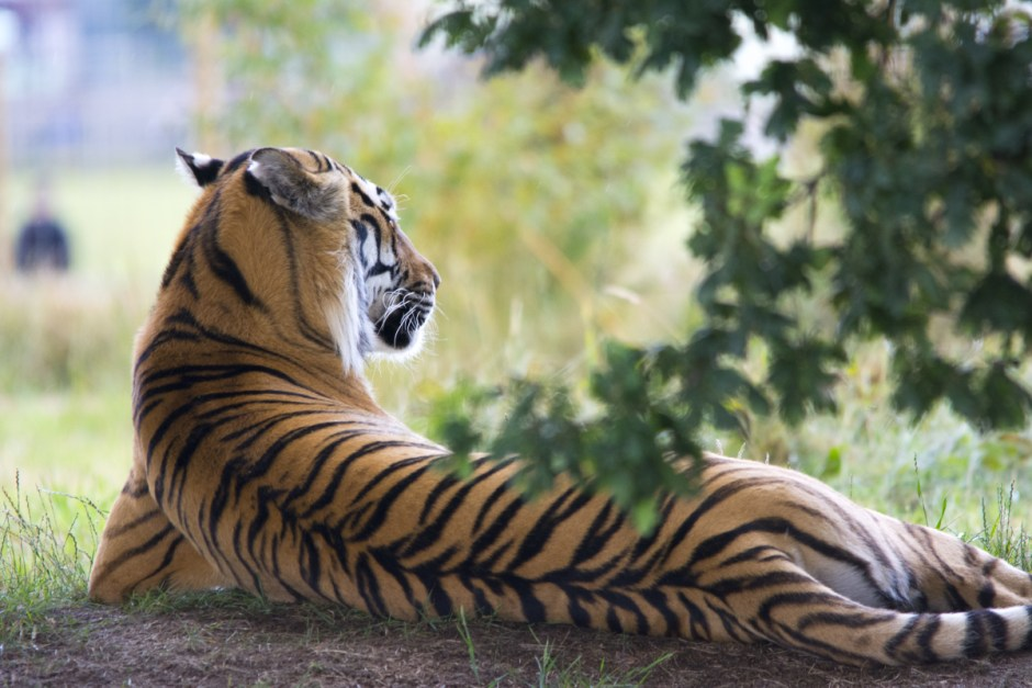 Tiger Lying Down during Daytime  Free Stock Photo