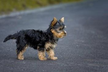 Tan Black Puppy