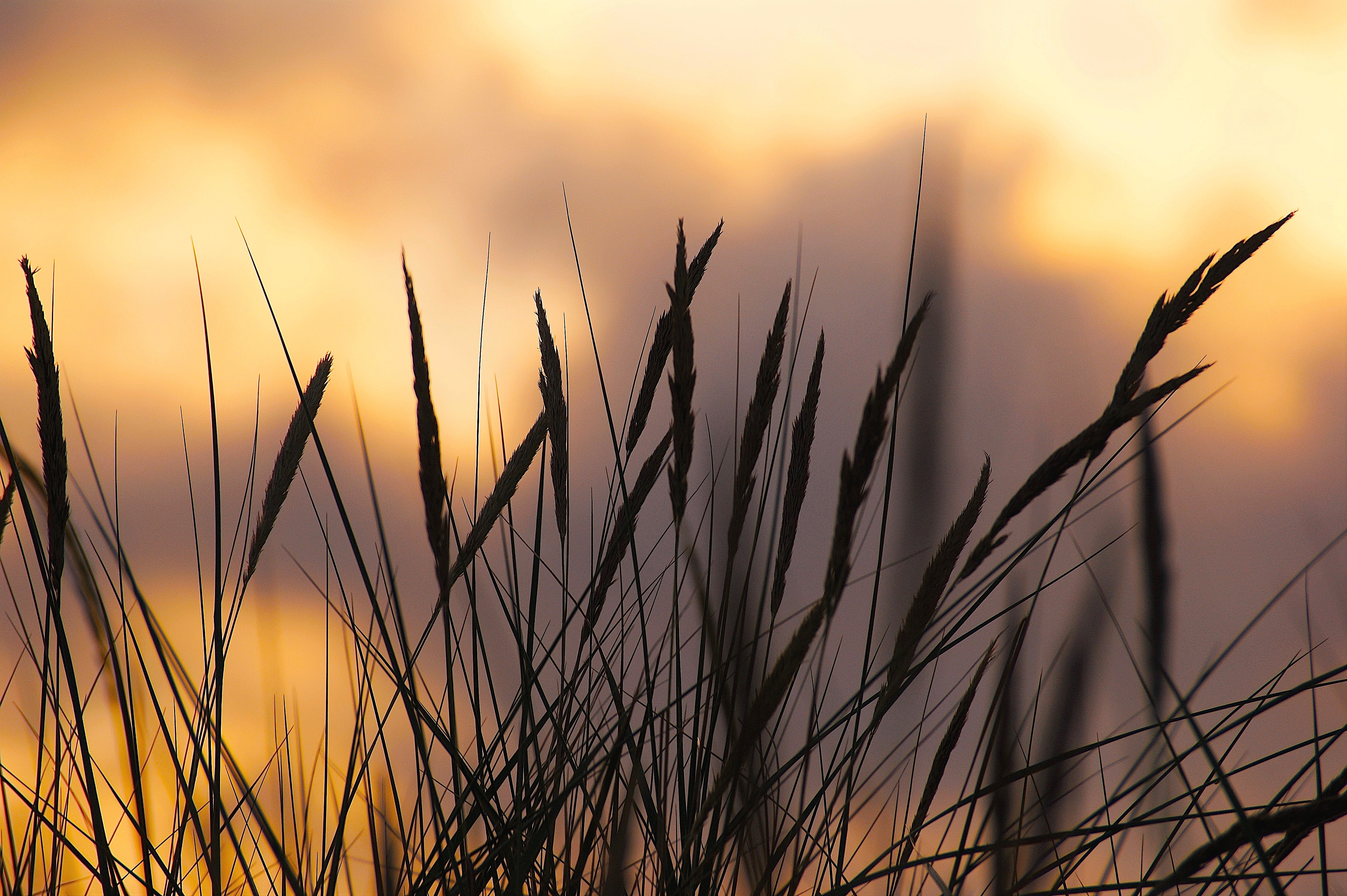 Large Hd Wallpapers For Laptop Silhouette Photo Of Wheat During Sunset 183 Free Stock Photo