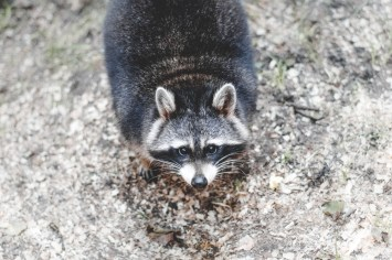 animal, raccoon, whiskers