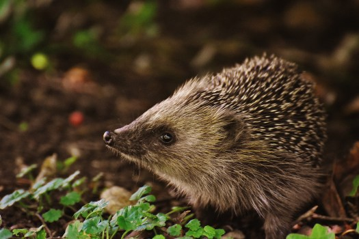 High Definition Animal Wallpapers Free Stock Photo Of Animal Cute Hedgehog