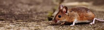 animal, apodemus sylvaticus, brown